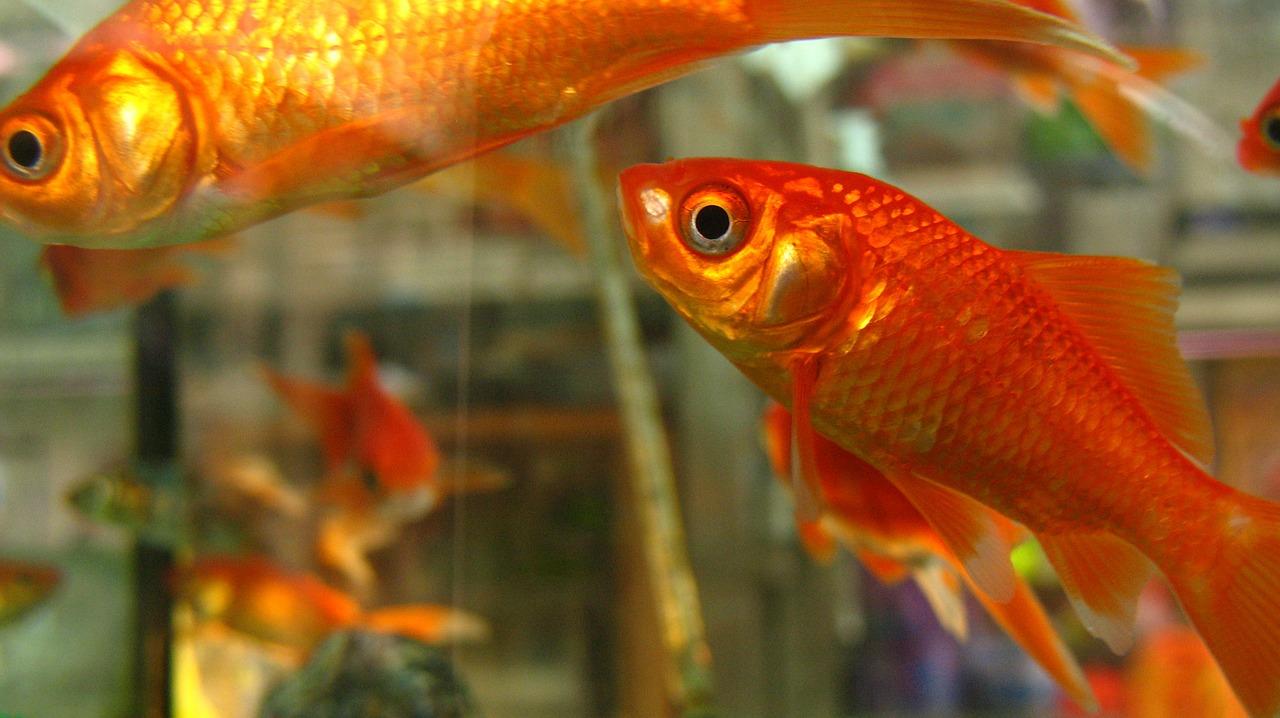 goldfish-522664_1280