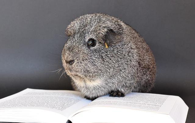 guinea-pig-640495_640