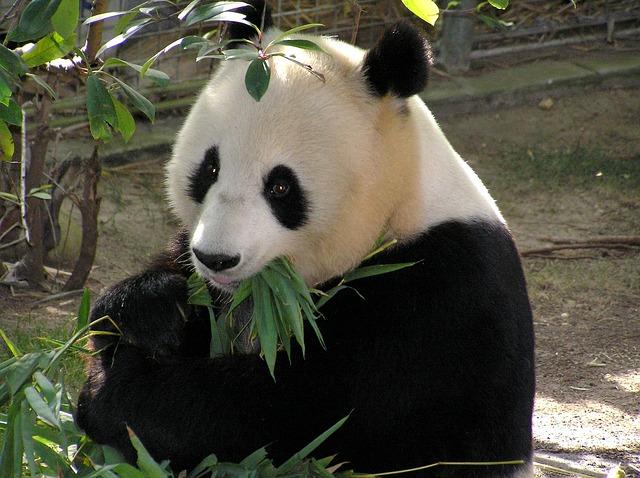 Collares y osos panda